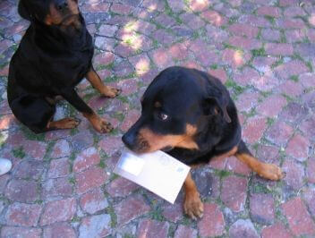 Rottweiler holding a letter in its mouth