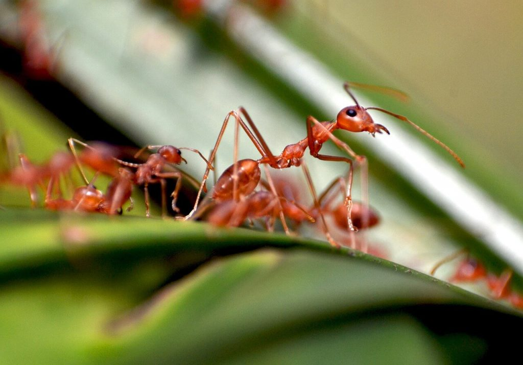 Photo of ants walking on a leaf.