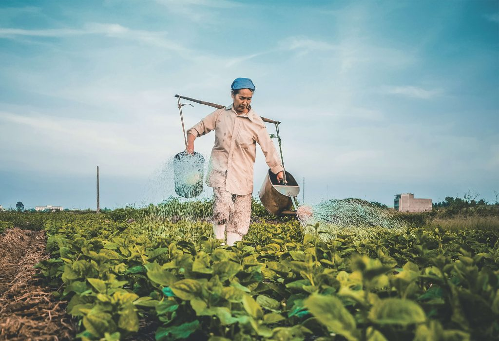 Photo of a worker carrying buckets of water through a field and watering her crops.
